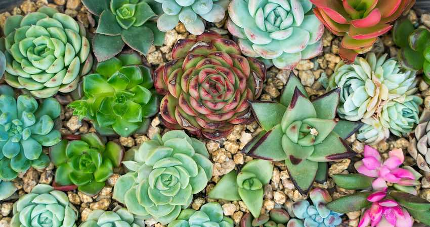 Black spots on succulents: Identification, Reasons & Cure