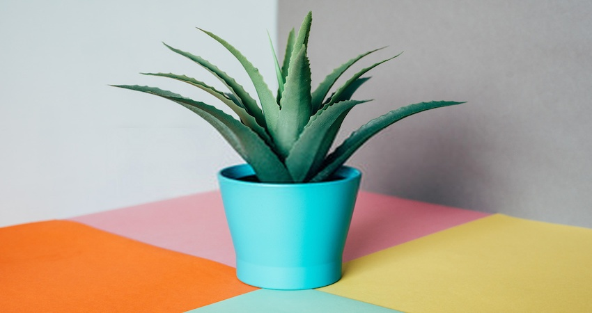 How to Save Overwatered Aloe Plant