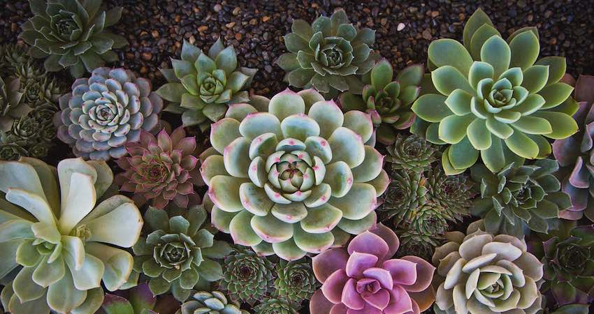 Reasons to get black spots on succulents