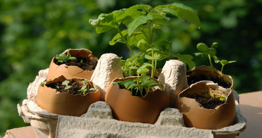 How to use Eggshells as seed starters/pot