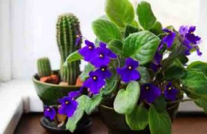 A few tips to 'African Violet Care