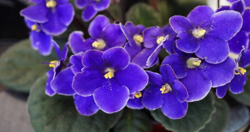 How to Save an Overwatered African Violet
