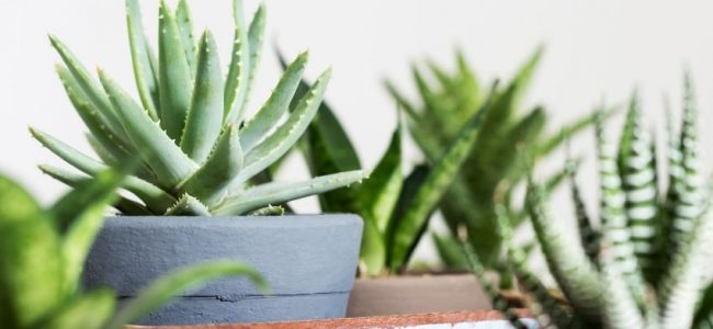 How Much Water Do Snake Plants Need? In-Depth Guide