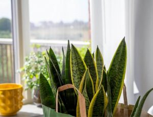 How to Revive Snake Plant