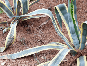 Popular Issues with Snake Plants