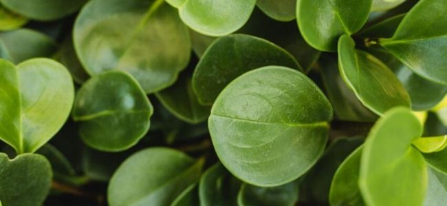 Peperomia Leaves Turning Black (Causes And How to Fix it)