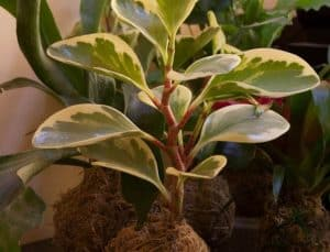 Cultivation of Peperomia