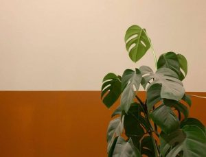 How To Care Monstera Properly