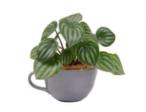 Plant Care for Peperomia