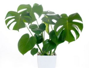 Why Is Monstera So Popular