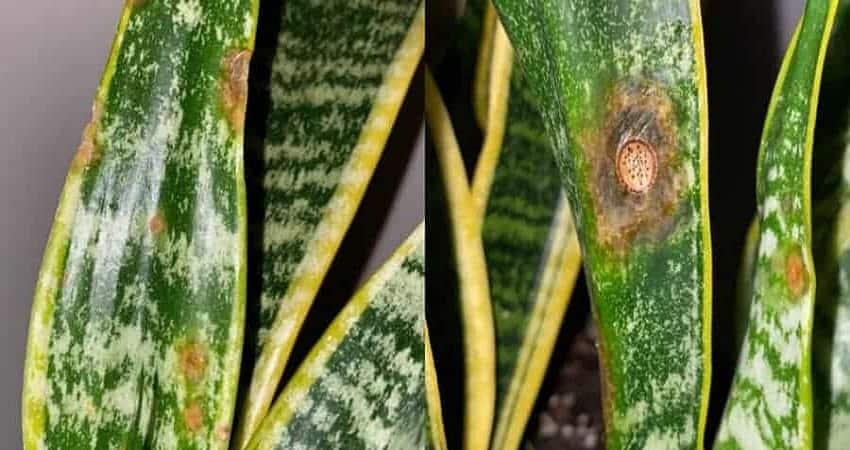 brown spots on snake plant
