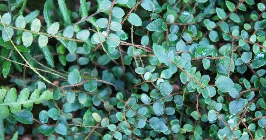 button fern care