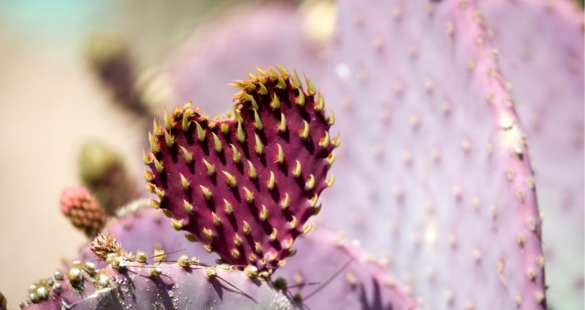cactus turning purple