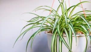 How to care Spider plant