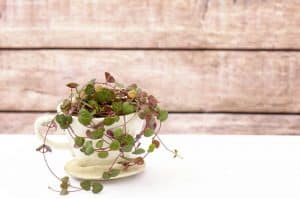 How to care of a String of Hearts plant