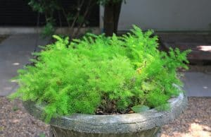 The common diseases of Asparagus Fern