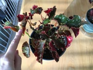 begonia leaves curling