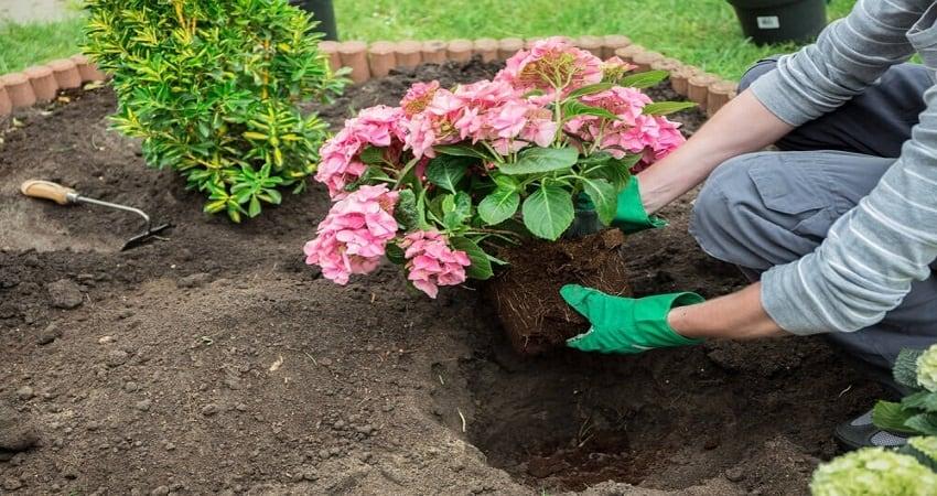 fix hydrangea root rot