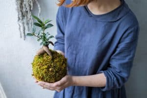 Caring for the succulent Bonsai