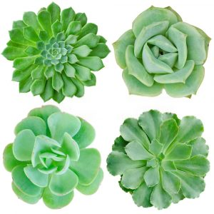 Other problems related to succulent plants