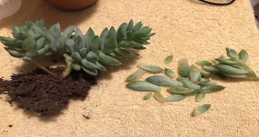fallen succulent leaves