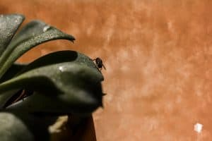 Signs of flies and gnats in your potted succulent plants