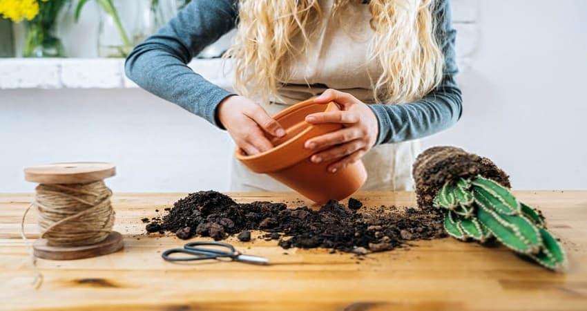 succulent soil plants