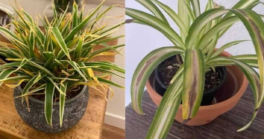Root rot in spider plant