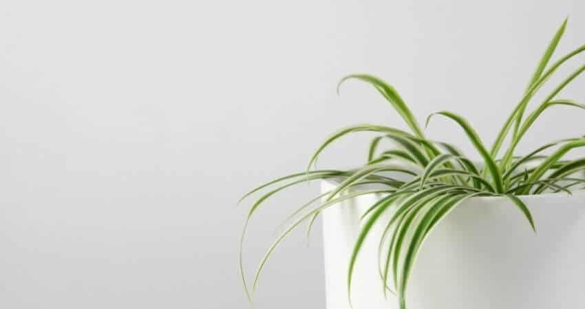 Should I Mist My Spider Plant