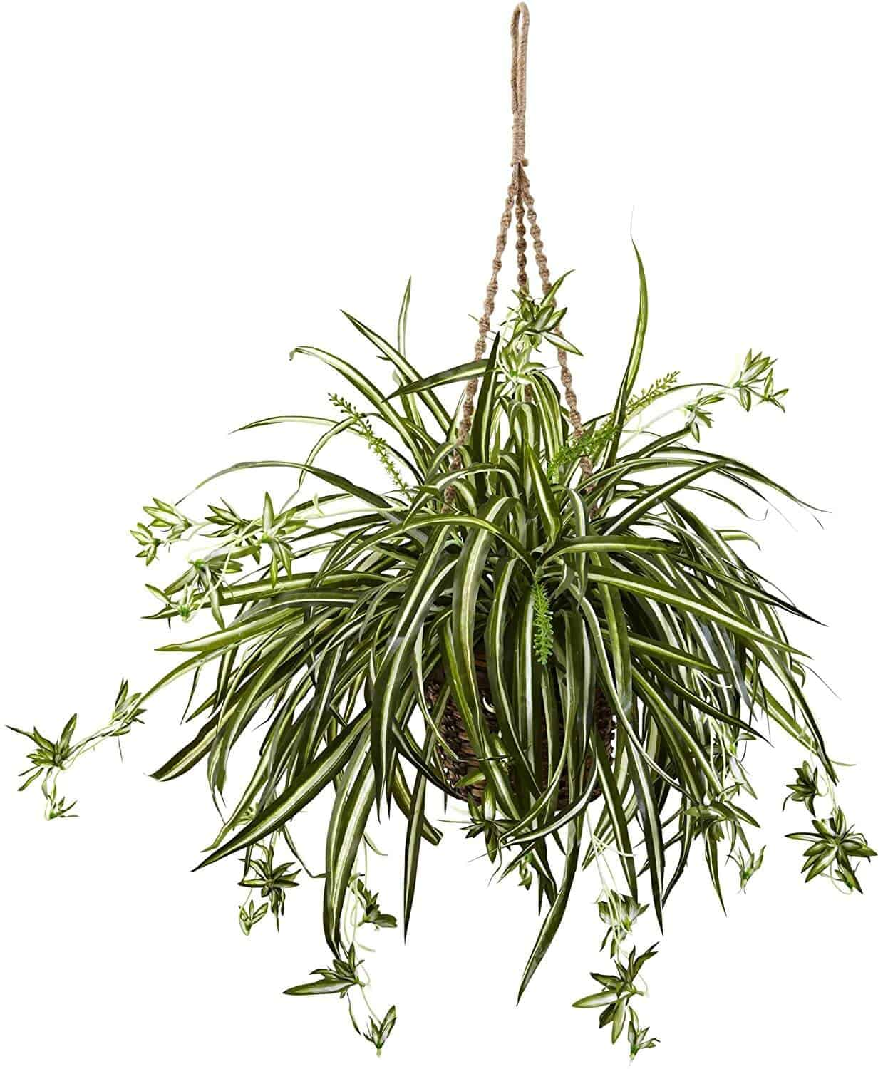 Spider Plant Have Brown