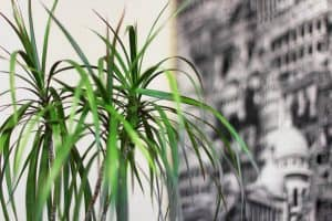 Diseases may also cause Dracaena leaf curling