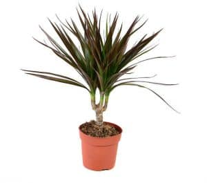 Dracaena leaves curl due to too much light