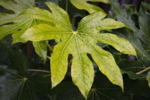 Use of excessive water to irrigate the Aralia leaves