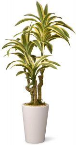Ways in which the Dracaena plant can be saved